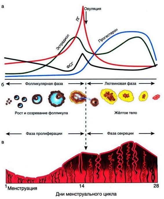 Менструальный цикл его особенности регуляция
